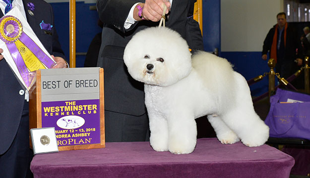 GCHP CH Belle Creek's All I Care About Is Love, winner of Best in Show at the 2018 Westminster Kennel Club Dog Show (Photo courtesy of Westminster Kennel Club)