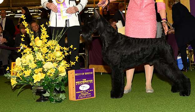 2018 westminster kennel club dog show bichon frise wins best in